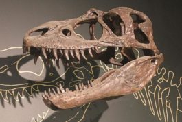 A fossil of a dinosaur skull is mounted to the wall of a display