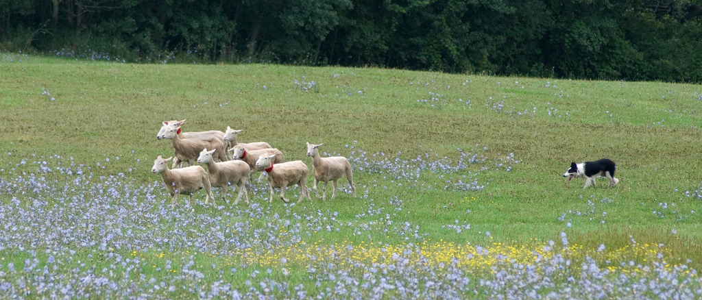 12 Festivals to Hit in Kingston This August, Kingston Sheep Dog Trials Festival