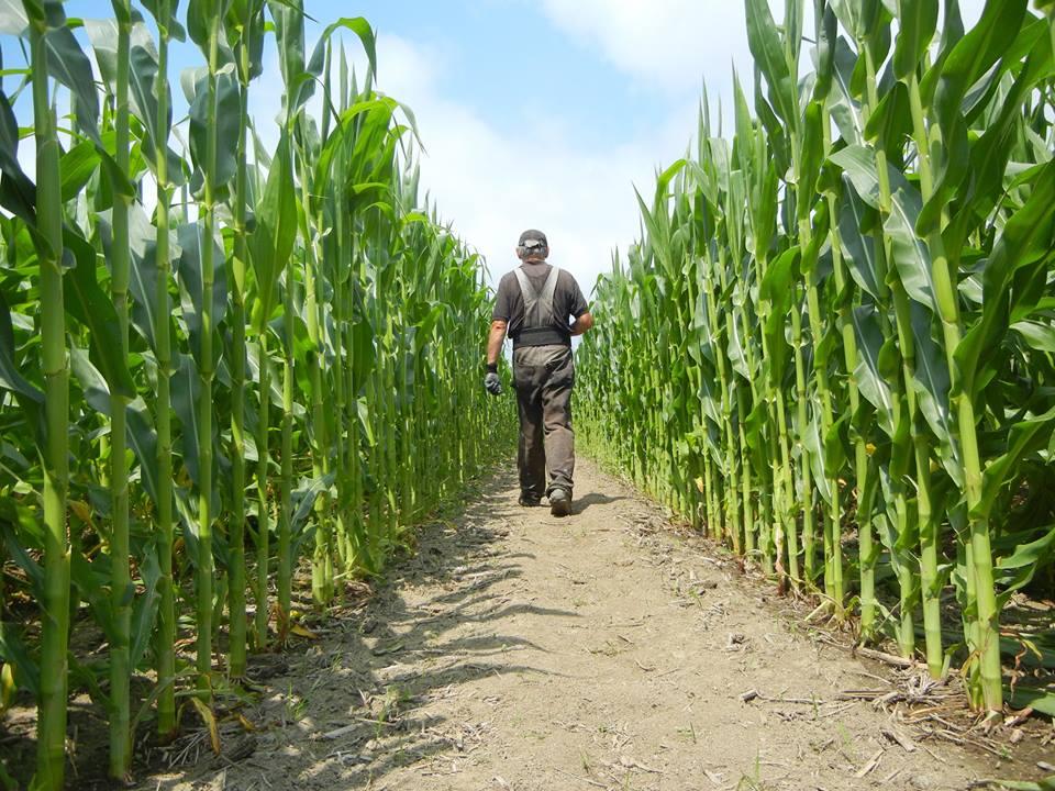 Corn Maze Kingston